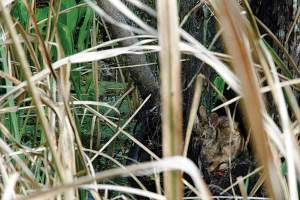 A swamp rabbit hides in heavy cover.