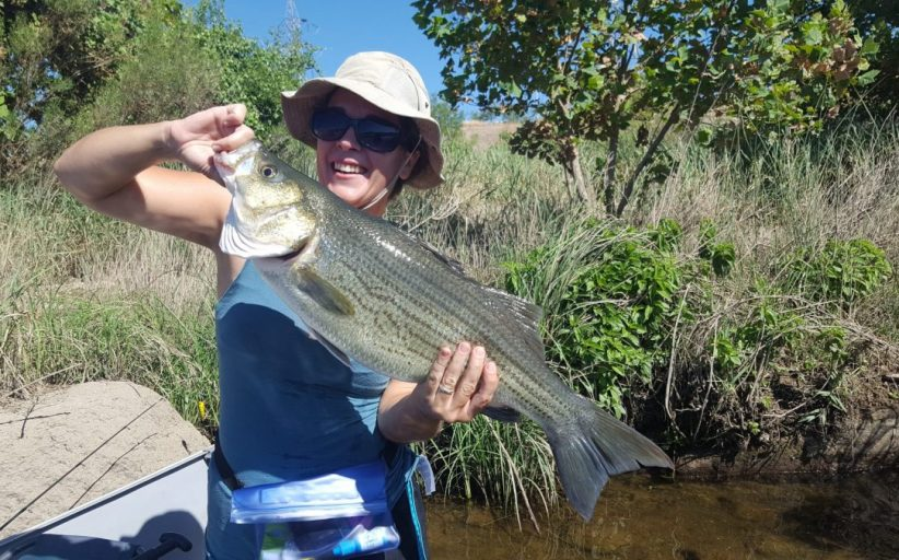 Hybrid stripped bass in Cottonwood Shores, Texas