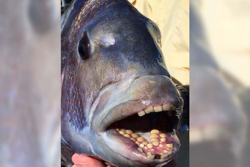 Seeking sheepshead for Texas saltwater fish