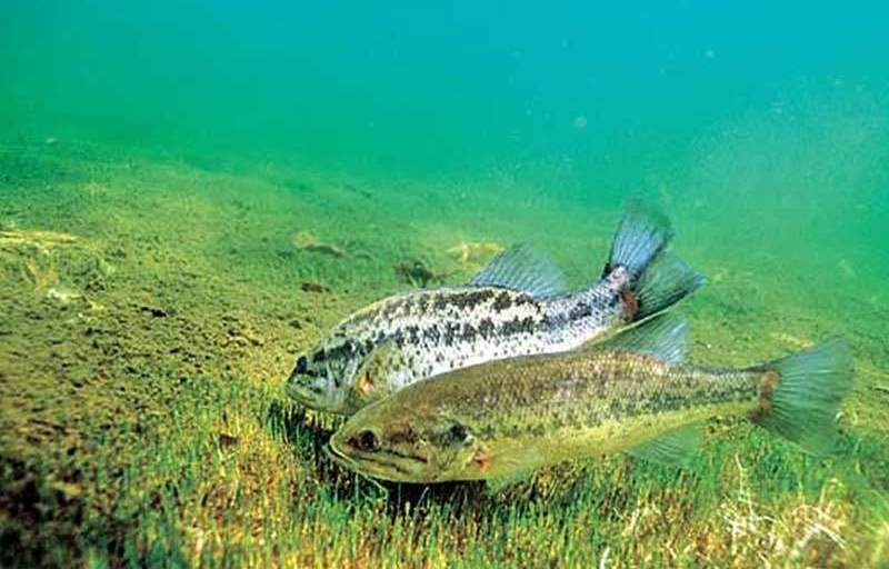 The Bass Spawn: Love is in the Water