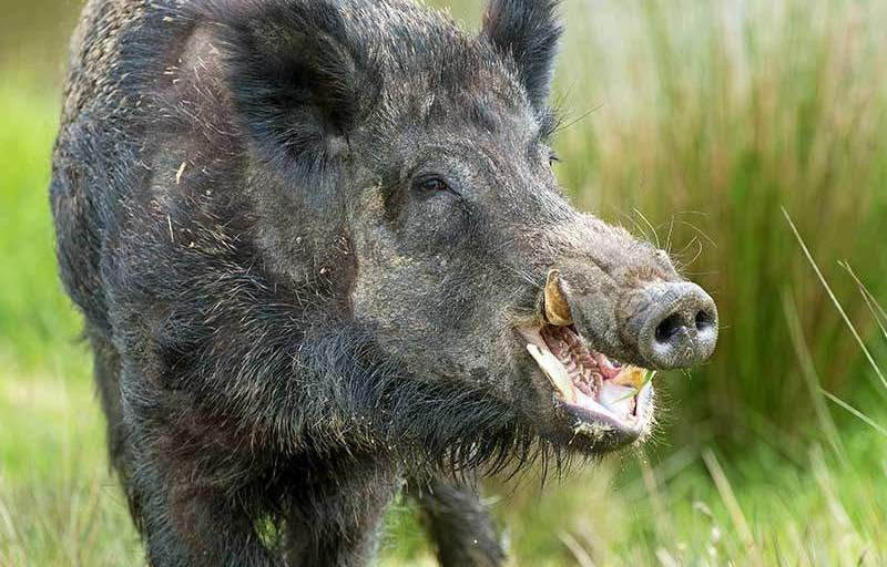 Bowhunting Hogs: Part 1 - Why I Hunt Them?