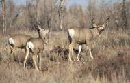 Big Bend Mule Deer Restoration Effort Advancing with Partners
