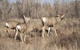 Big Bend Mule Deer Restoration Effort Advancing with Partners