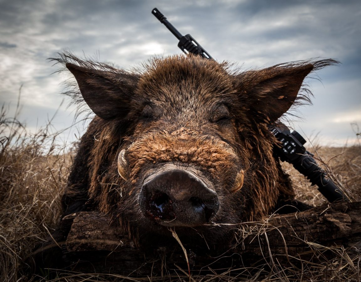 300 pound hog