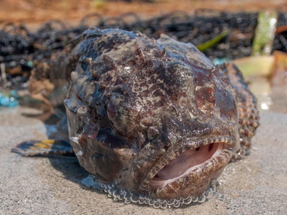 gulf toadfish