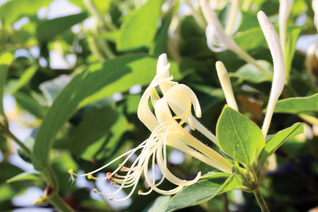 """Honeysuckle, a late-fruiting natural plant, is """"ice cream"""" to Texas deer."""