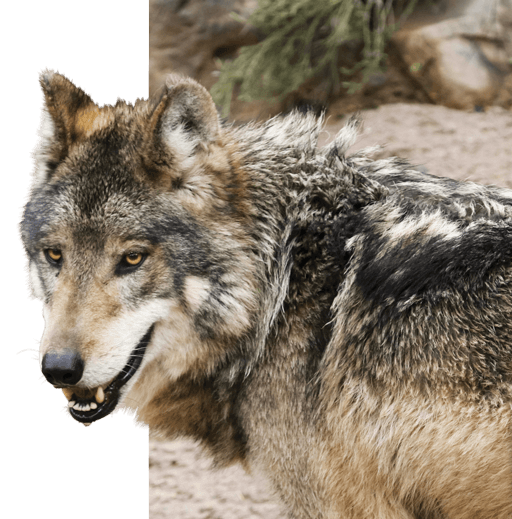 The Mysterious Wolf Of Texas Texas Fish Game Magazine