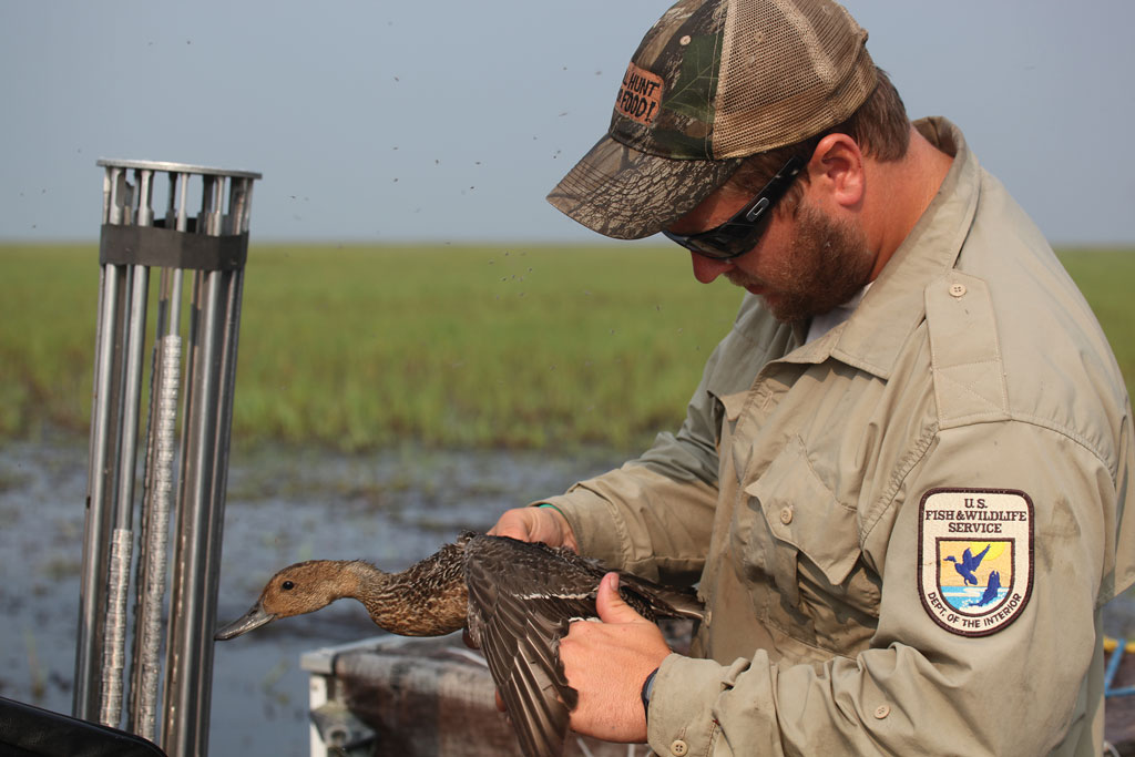A US Fish and Wildlife Service biologist band a pintail. Research on pintails is crucial to help the species.