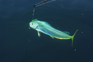 fishing dolphinfish