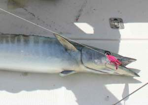 wahoo caught on a spoon