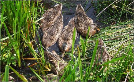 Ducklings eating