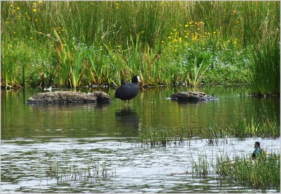 Coot on the far side