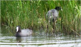 Pair of Coots