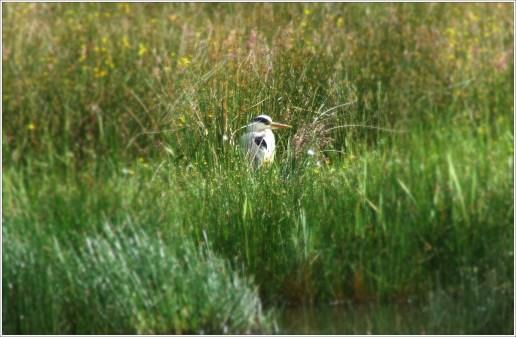 Heron resting on far side