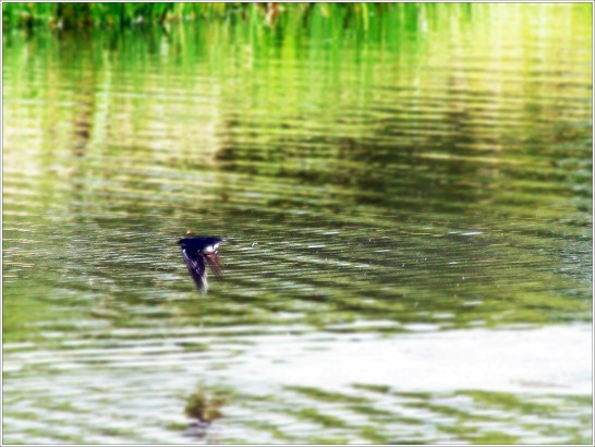 Swallow diving for flies