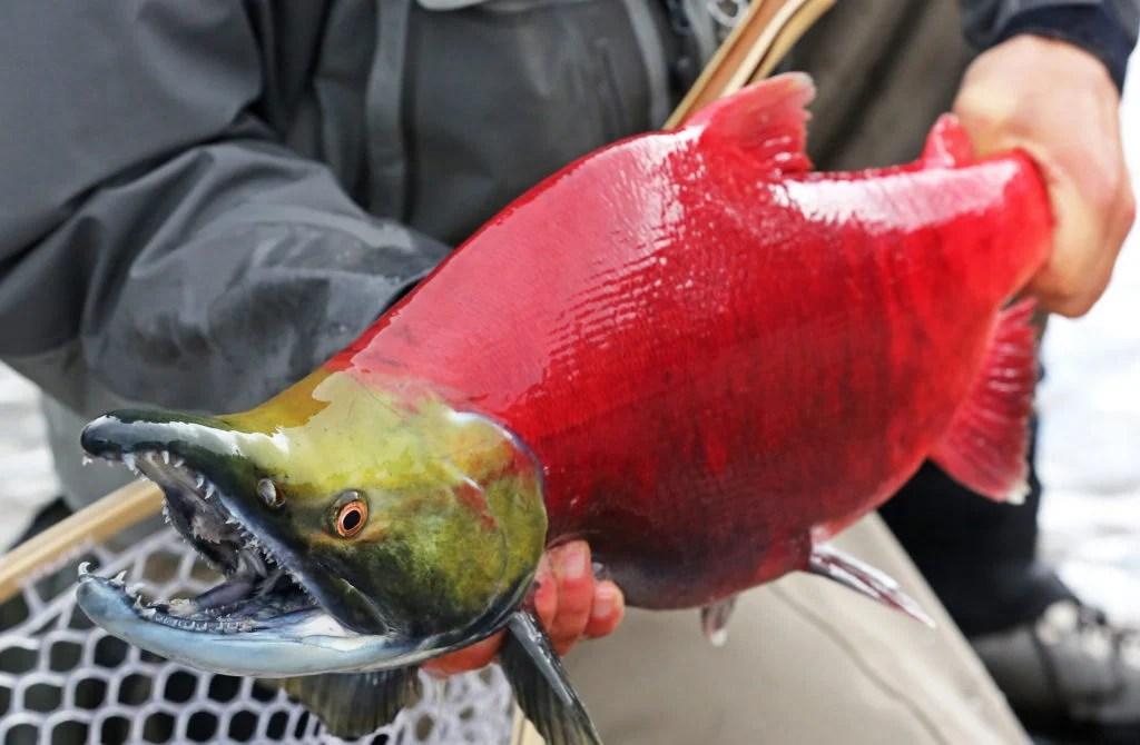 Angler holding Sockeye Salmon in Alaska