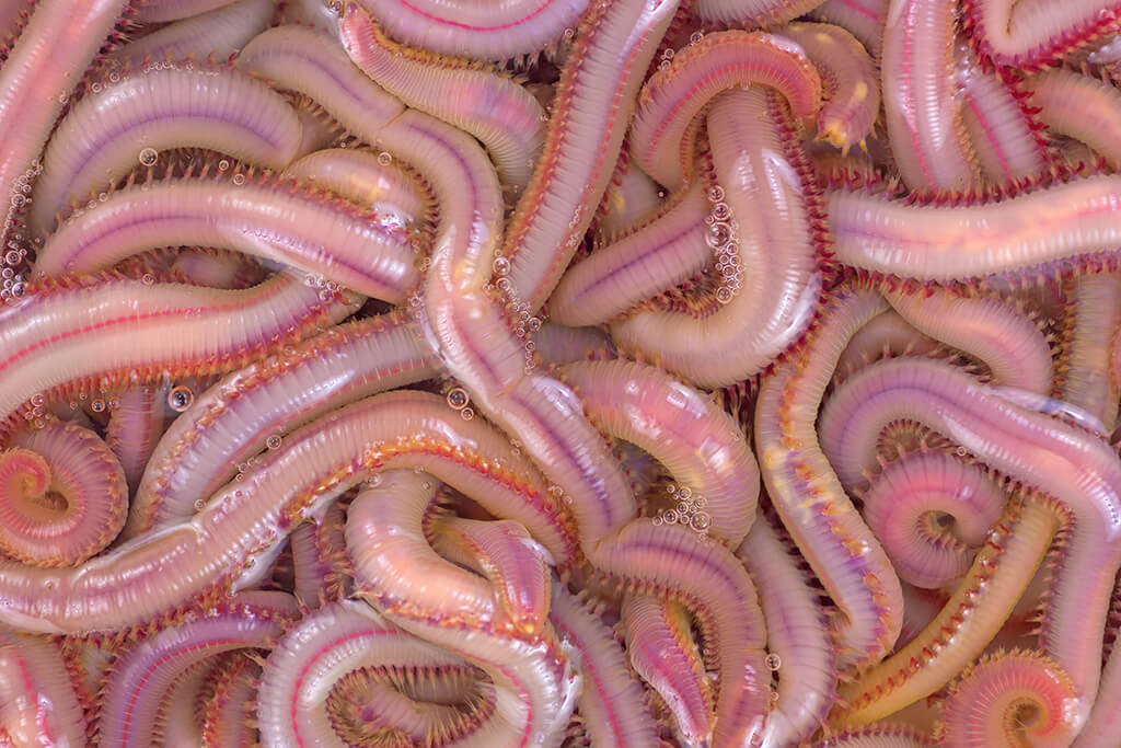 Lots of live sandworms in a bucket of saltwater