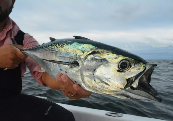 A False Albacore fish with its mouth open held by an angler on a boat with ocean and sky in the background.