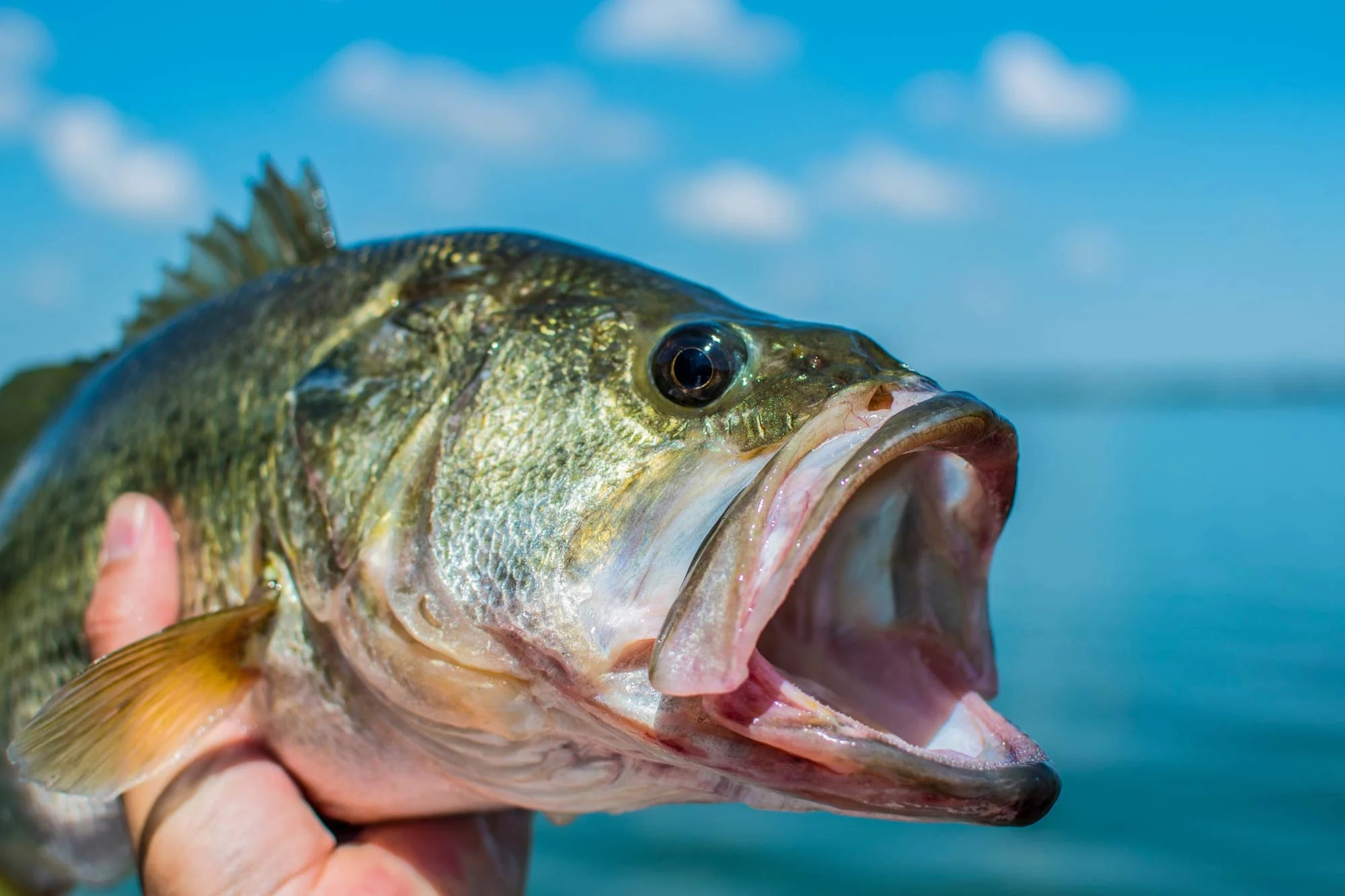 A close-up photo of a Largemouth Bass with water and blue skies in the background