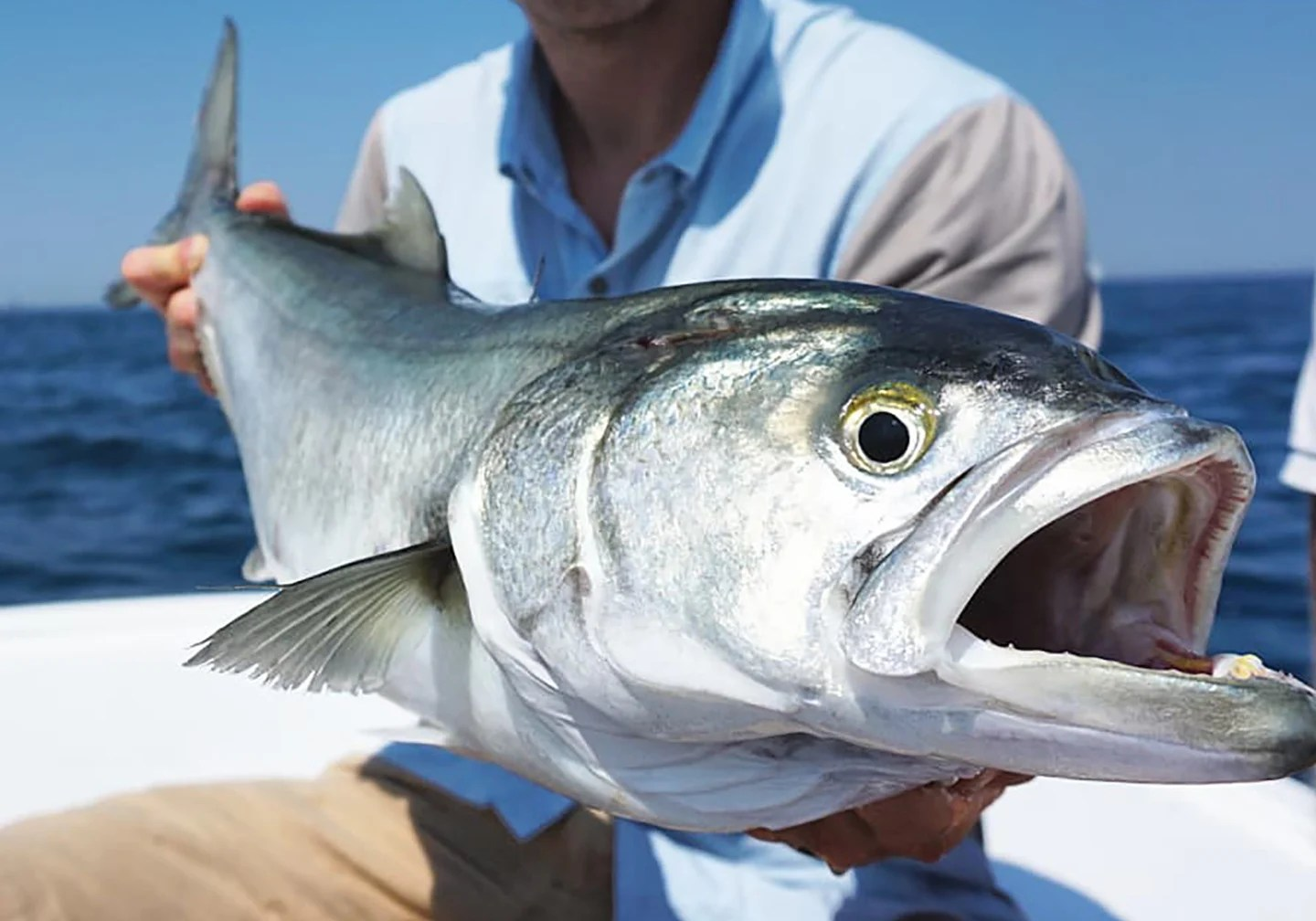 A bluefish being held on a boat with sea, sky, and the boat's white deck behind.