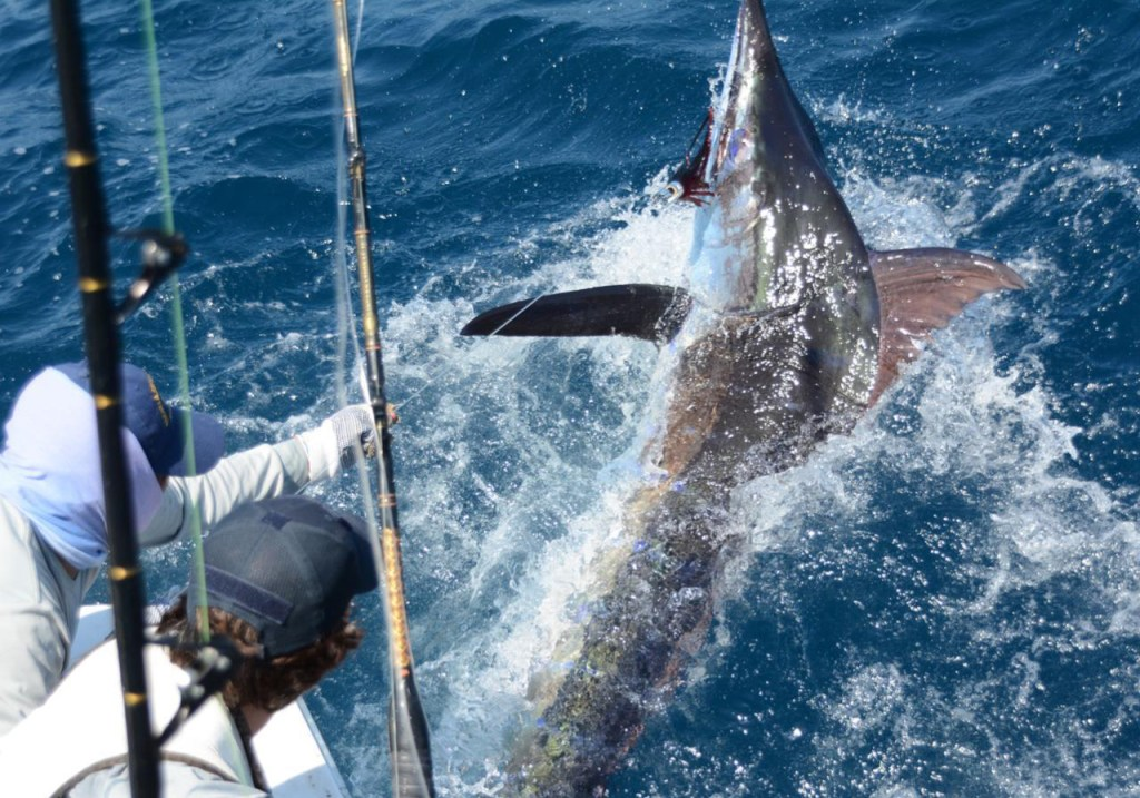 Big blue marlin catch and release