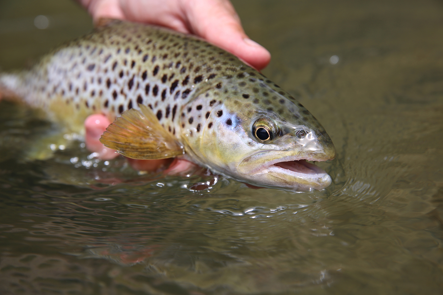 A Brown Trout about to be released into the water
