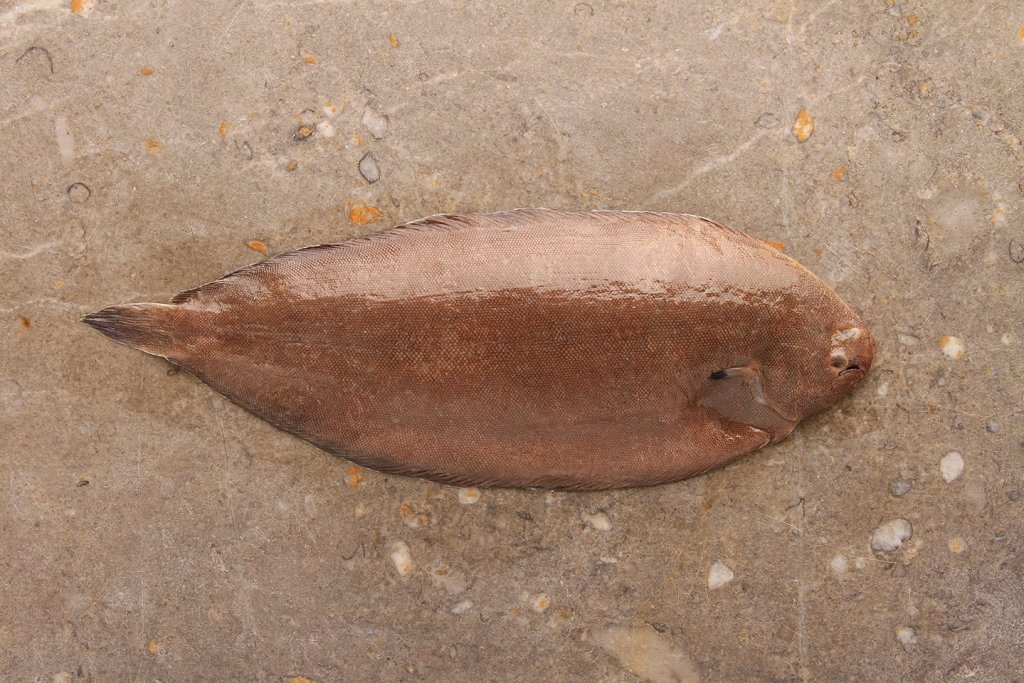 A Devon Sole, one of the most popular types of flatfish in the UK, laid on a stone slab