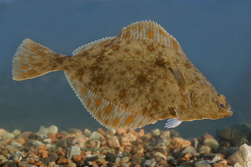 A European Flounder swimming underwater with gravel beneath it