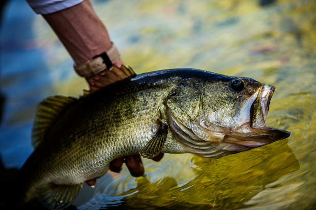 A close-up of a Largemouth Bass being released back into the water after being caught while fishing in Disney World, Orlando.