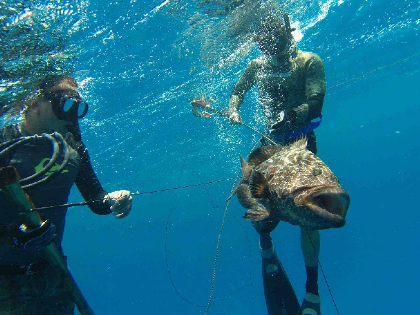 Two divers approach a Black Grouper with spear fishing equipment underwater