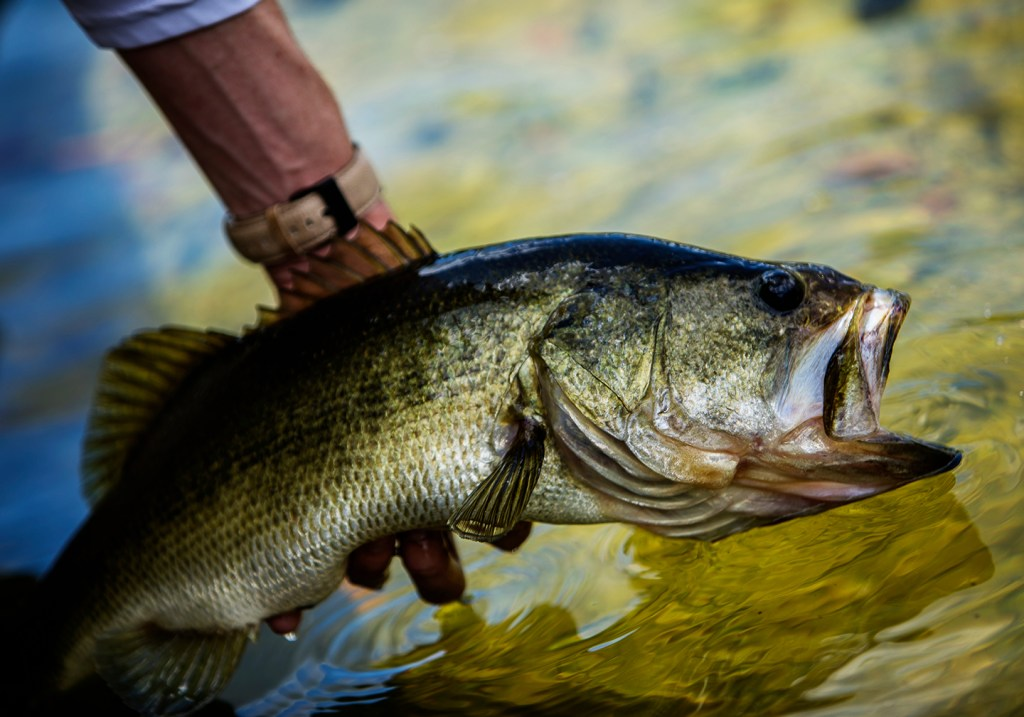 A Largemouth Bass being released into the water