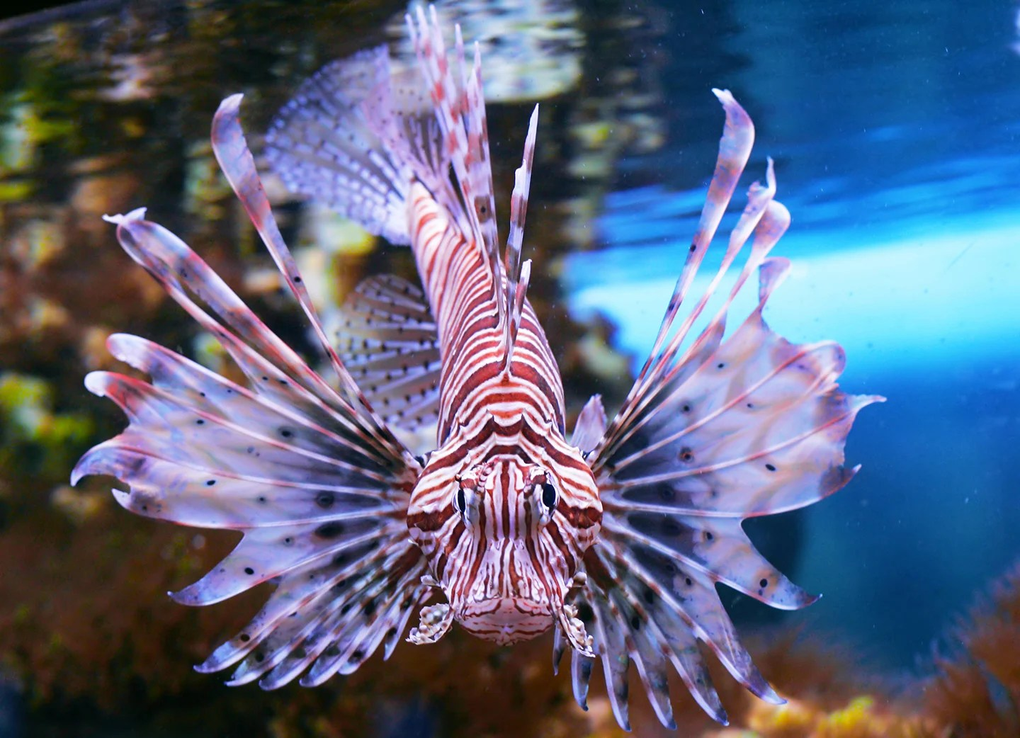 A Red Lionfish, the most invasive fish in Florida.