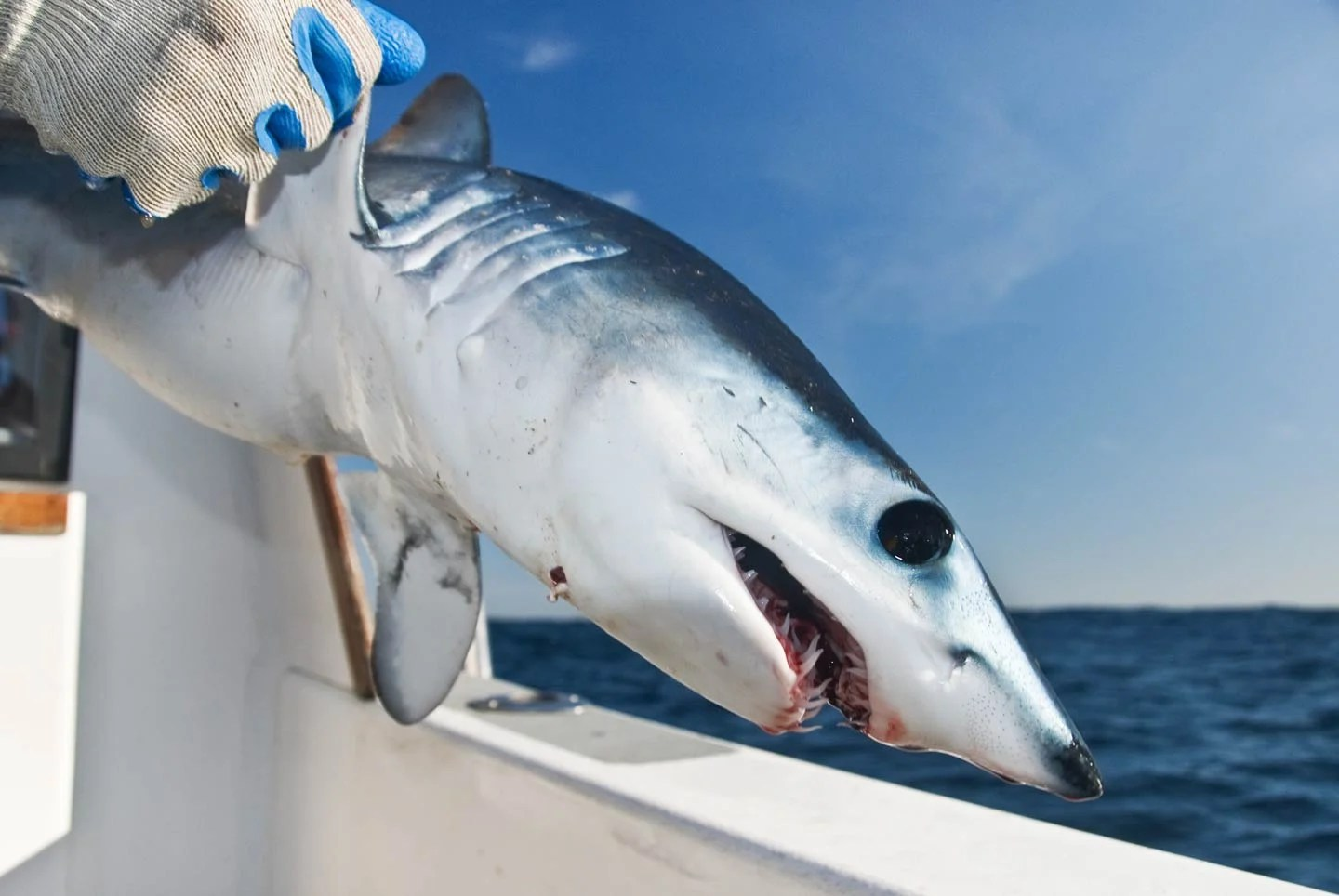 A young Mako Shark being released back into the ocean.
