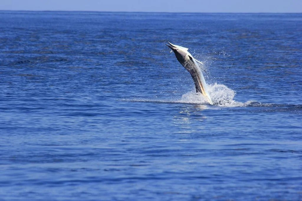 A White Marlin jumping out of the water after being hooked by and angler on a fishing trip