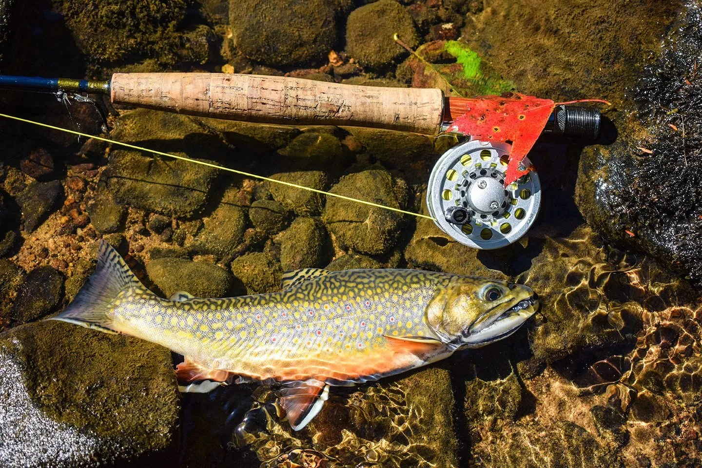 A Southern Appalachian Brook Trout in shallow water next to a fly fishing rod