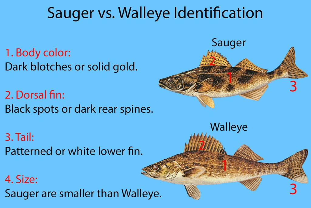 """A chart showing how to identify Sauger vs. Walleye. Illustrations of Sauger and Walleye are shown on the right, with text on the left explaining how they are different. The text reads """"1. Body color: Dark blotches or solid gold. 2. Dorsal Fin: Black spots or dark read spines. 3. Tail: Patterned or white lower fin. 4. Size: Sauger are smaller than Walleye."""""""