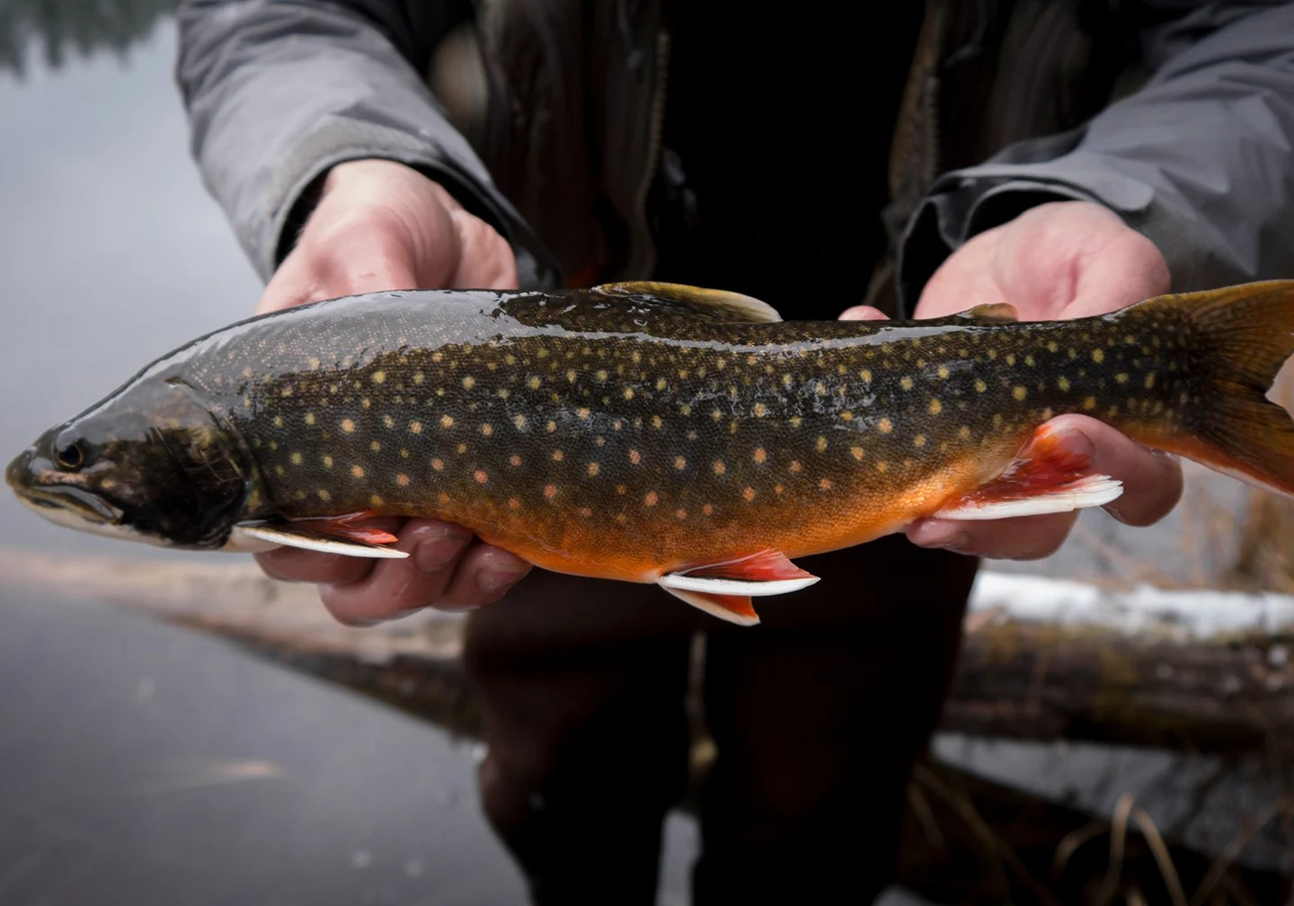 A close-up of an angler holding a Splake. Splake are a cross-breed of two North American Trout species: Brook Trout and Lake Trout.