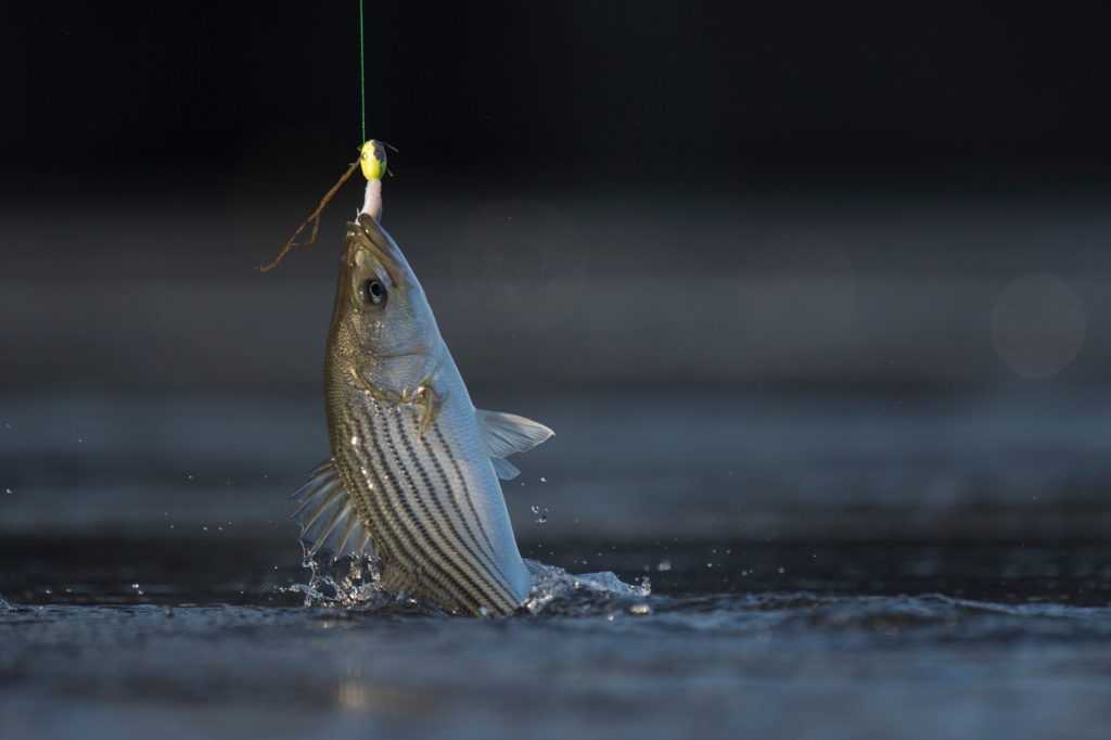 A small Striped Bass being pulled from the water on a fishing line