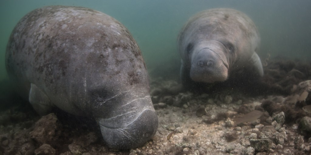 Two manatees foraging for food underwater