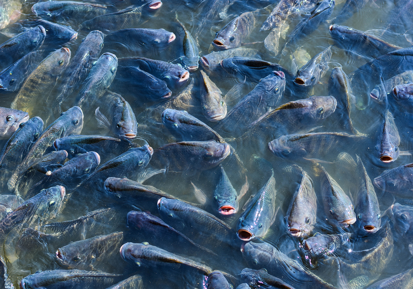 Lots of Tilapia fish swarming on the surface.