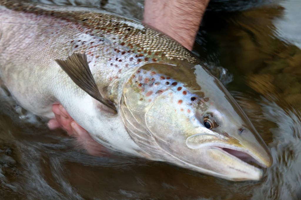 An Atlantic Salmon, often mistaken for a Brown Trout, being held out of the water by an angler before being released.