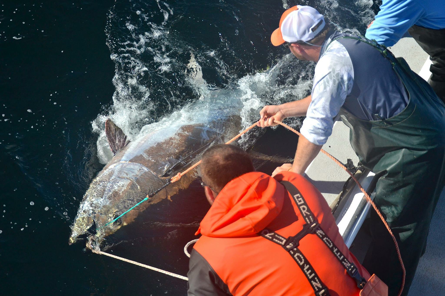 Two fishermen next to a Giant Bluefin Tuna that they are about to release