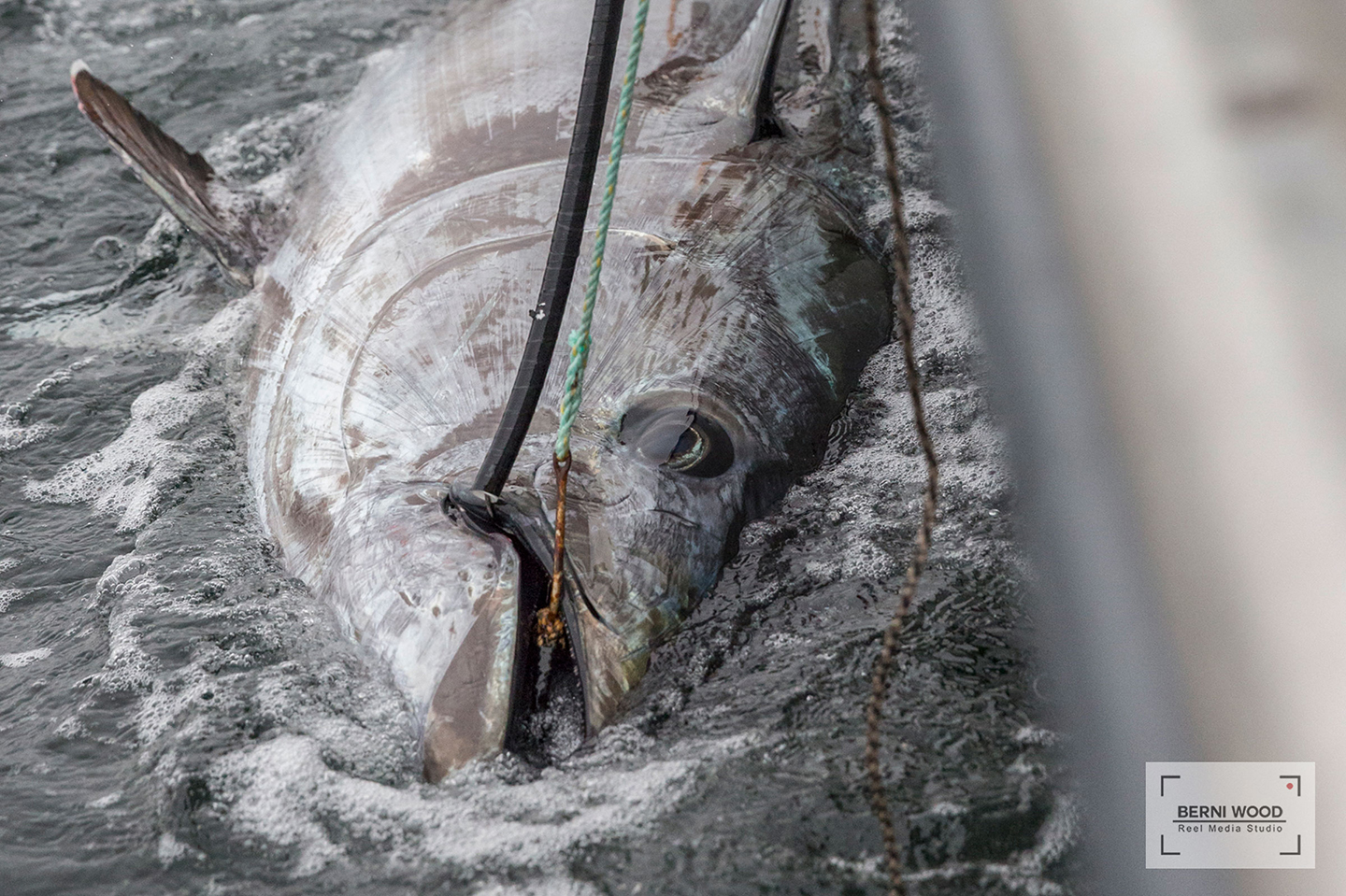 A close-up of a giant Bluefin Tuna caught and released off PEI, Canada, at the Tuna Cup Challenge fishing tournament