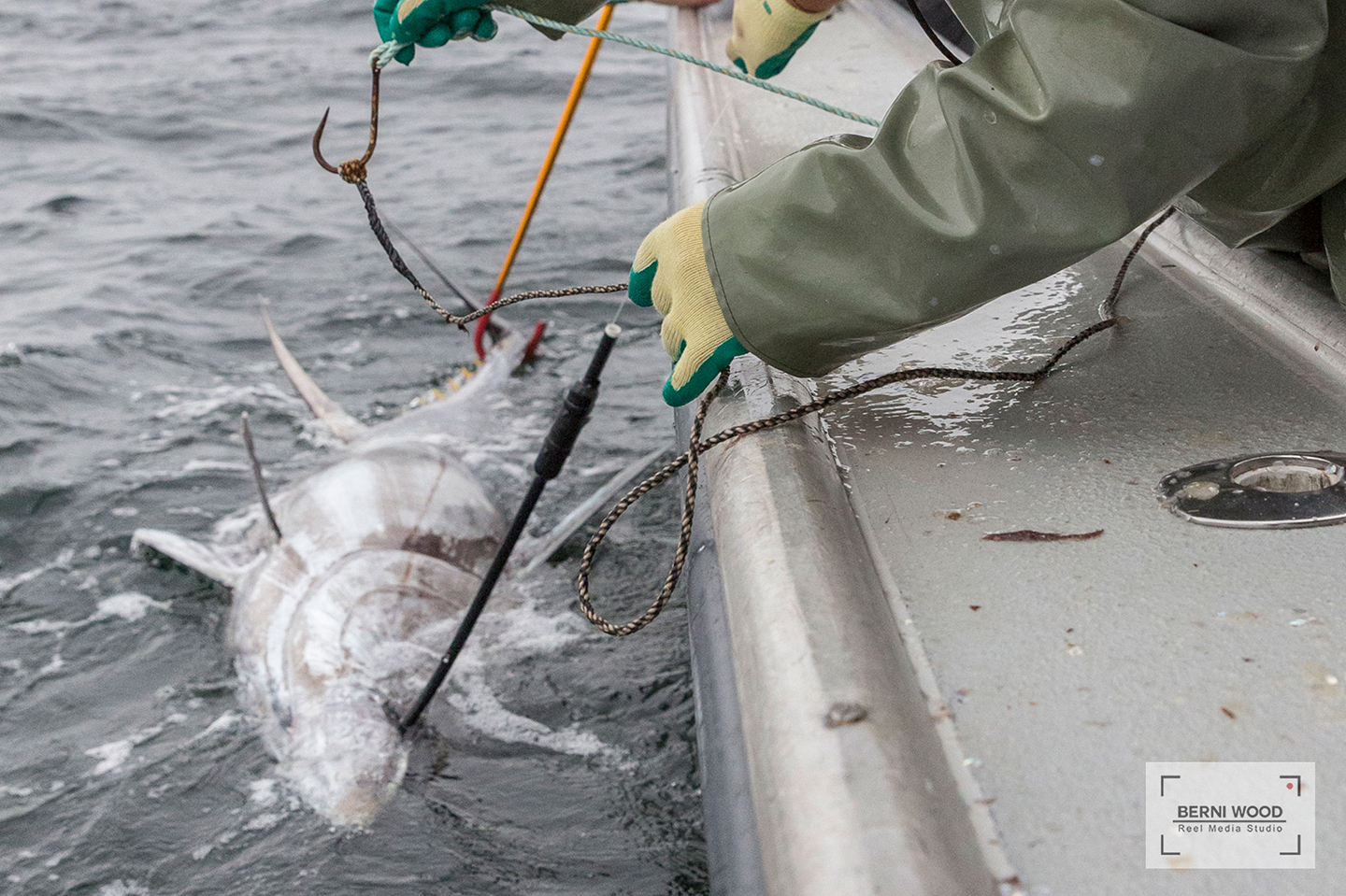 A Bluefin Tuna about to be released at the Canada International Tuna Cup Challenge fishing tournament