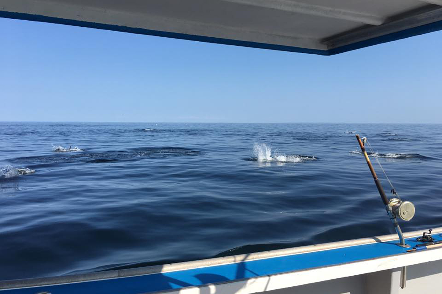 A view from a boat on the sea of Bluefin Tuna playing and feeding on the surface of the water
