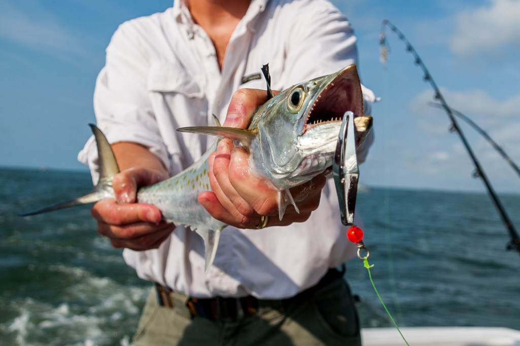 A Spanish Mackerel being held towards the camera by a man on a charter fishing boat