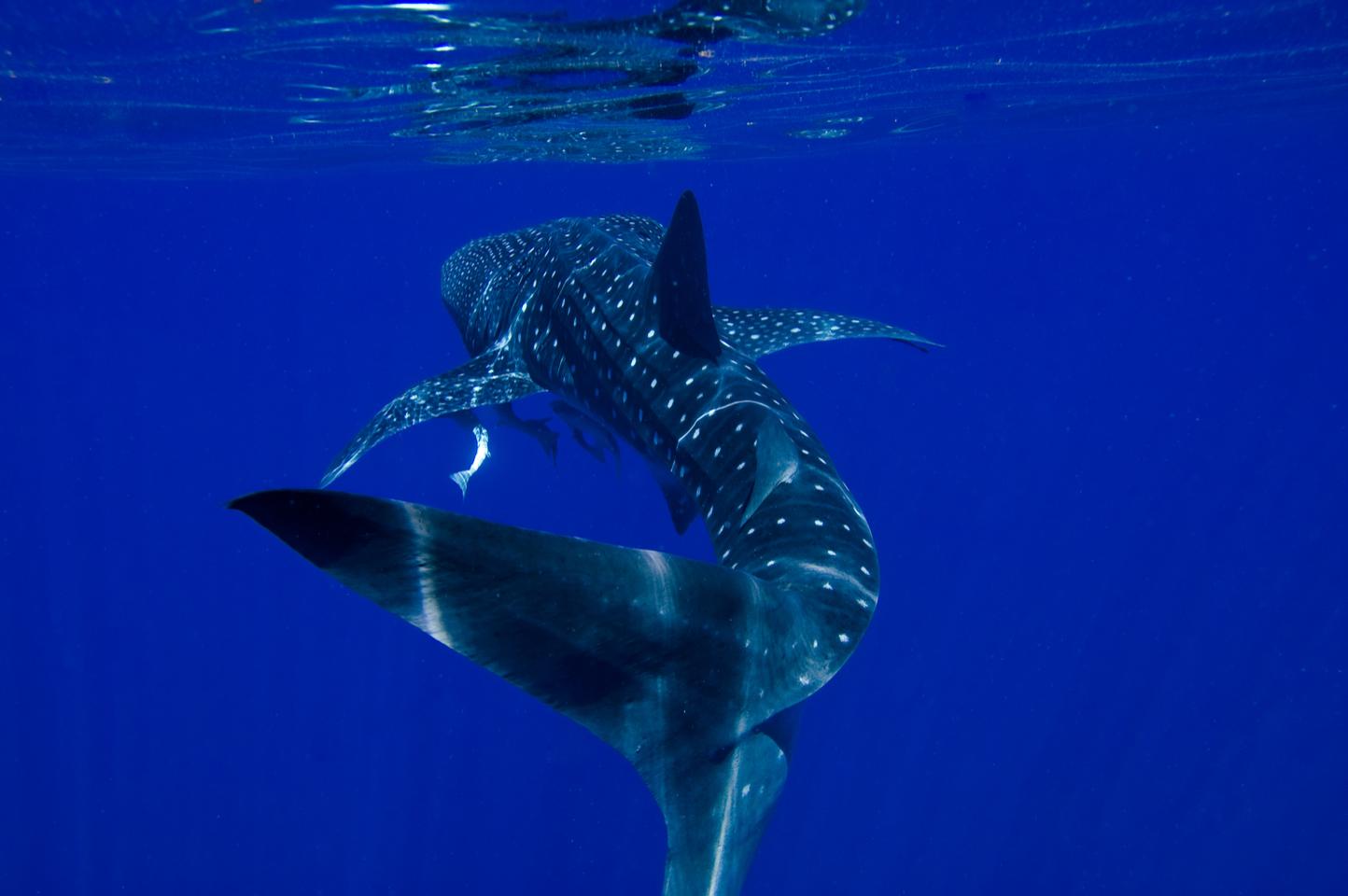 Whale Shark near Exmouth