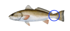 How to tag a Texas Red Drum