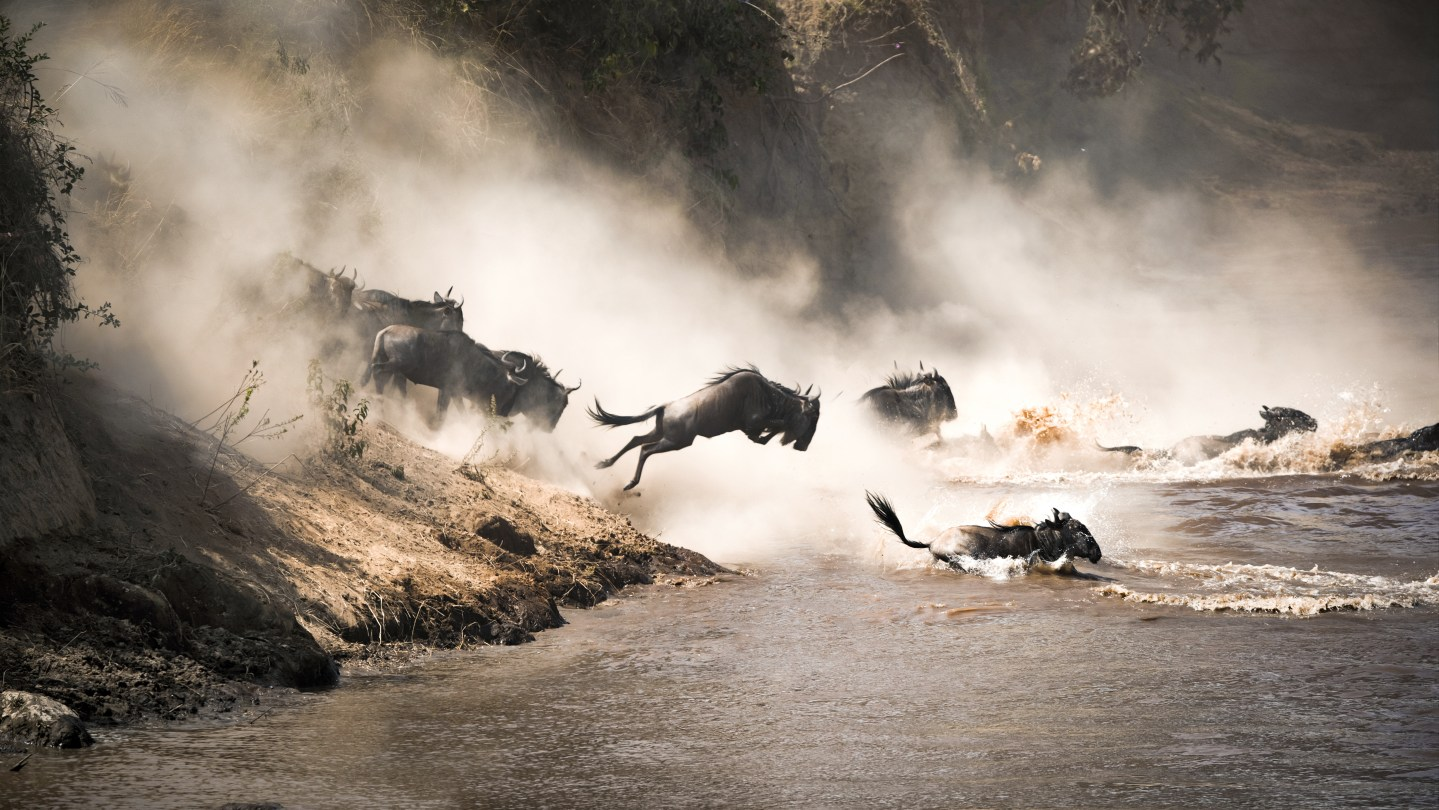Wildebeest migration, Kenya: a number of wildebeest sprinting downhill and swimming over a river