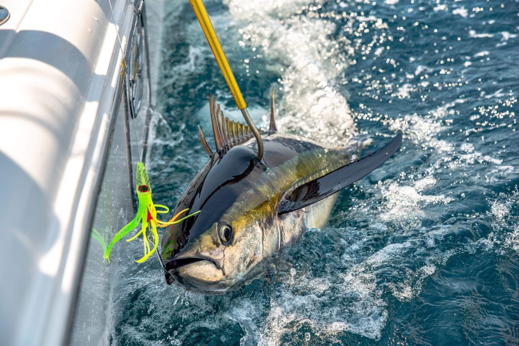A Yellowfin Tuna jumping at a fishing lure next to a boat, with a gaff pole hooking into the fish